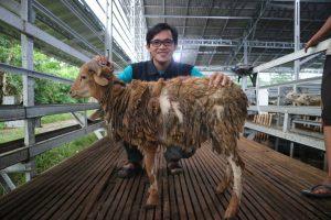1 domba medium tebar hewan kurban dompet dhuafa banten disebarakan hingga pelosok banten