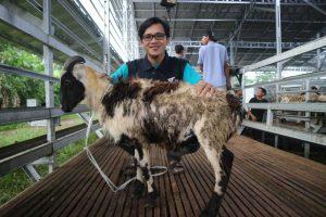 1 domba standar tebar hewan kurban dompet dhuafa banten disebarakan hingga pelosok banten